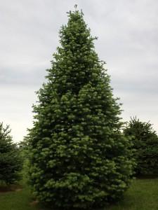 На фото - пихта, trees.cveti-sadi.ru