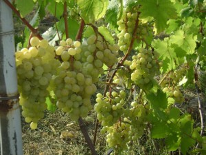 На фото - виноград для изготовления мускатного игристого вина, forum.vinograd.info