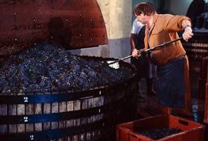 Фото производства полусухого вина, bahys.com