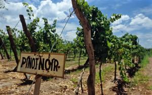 Фото выращивания винограда Пино Нуар, winestyle.ru
