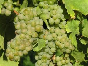 Вино Рислинг – одно из самых известных немецких вин в мире