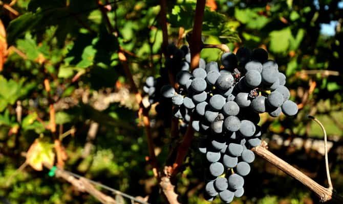 На фото - виноград сорта Вранац