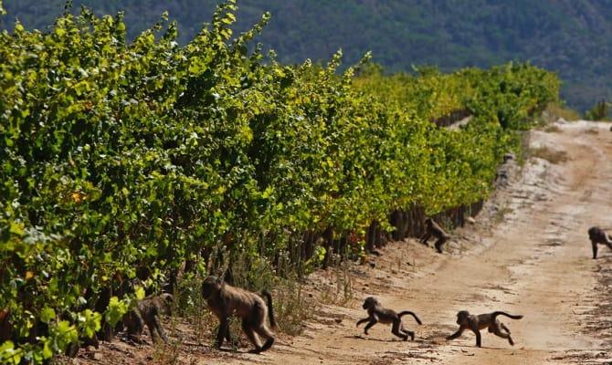 На фото - виноград ЮАР