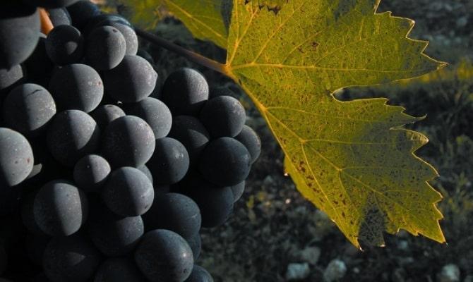Фото сорта винограда Санджовезе