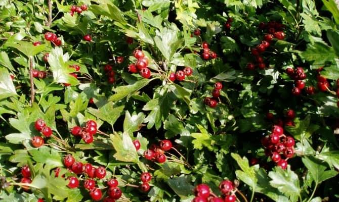 Настойка боярышника – лечение натуральным препаратом