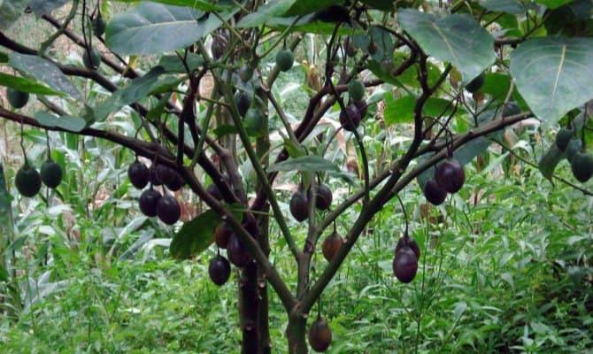 Экзотическое дерево с чёрными плодами-орехами