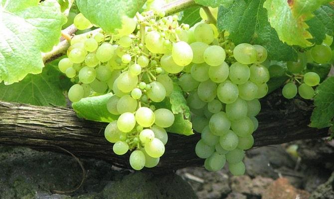 Виноград Каломбар для коньяка