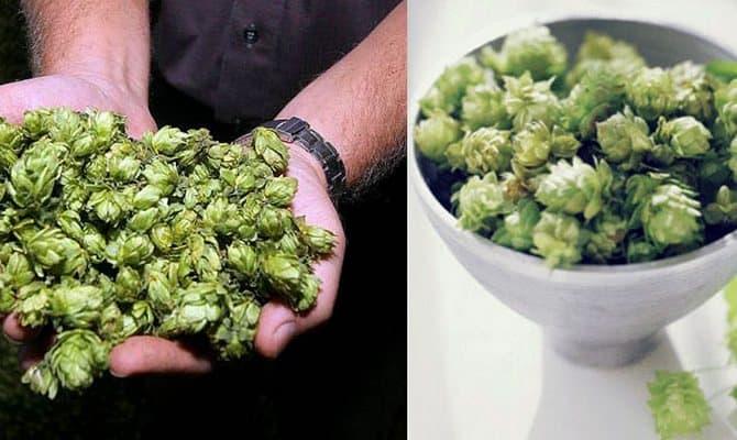 Хмель для приготовления пива