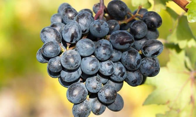 Сорт винограда «Арени Чёрный»