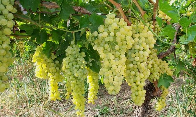 История грузинского виноградарства