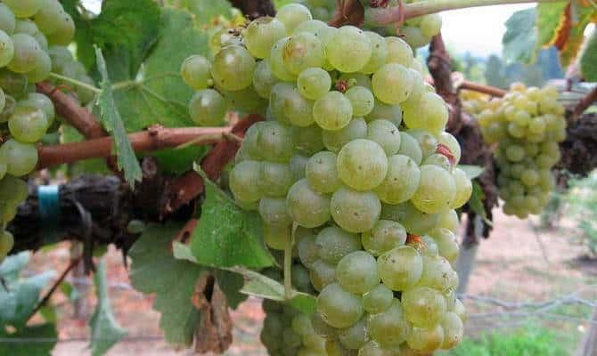 Сорта винограда – где применяются белые ягоды фото