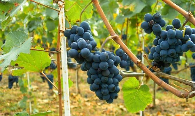 Неприхотливые красные сорта – для изумительных сухих и крепленых вин фото