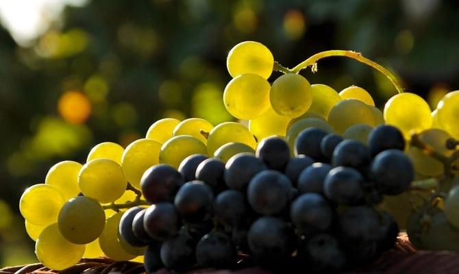 Подготовка к виноделию – почему важен этот этап?
