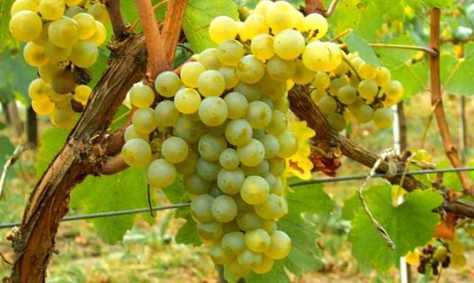 Процедура изготовления белого сухого вина и сорта винограда, используемые для нее