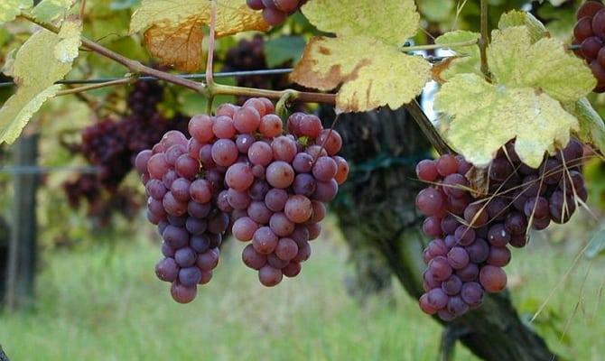 Оригинальное вино Гевюрцтраминер