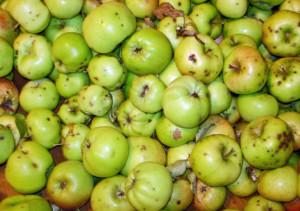 Главное правило качественного сидра – сорт яблок