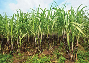 Фото сахарного тростника для производства рома, vkus-master.ru