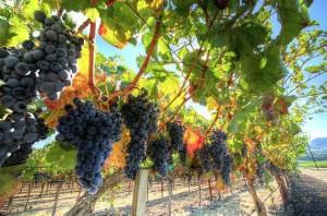 На фото - виноград на лозе, iprasummit.org