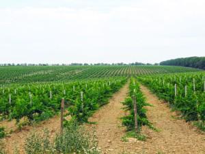 Фото выращивания винограда Рислинг, vinograd-ua.net