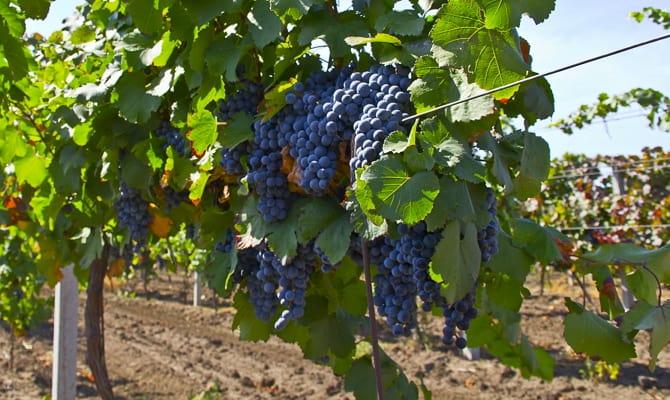 На фото - виноград сорта Мальбек