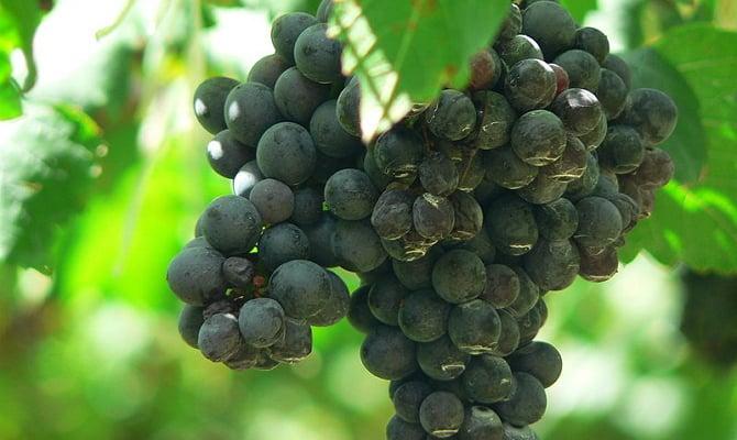 Фото сорта винограда Сира