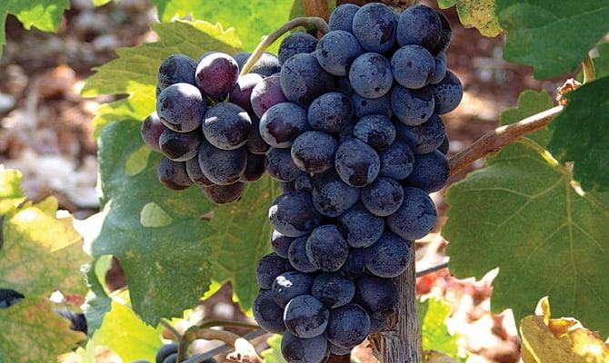 Сорт винограда Агиоргитико