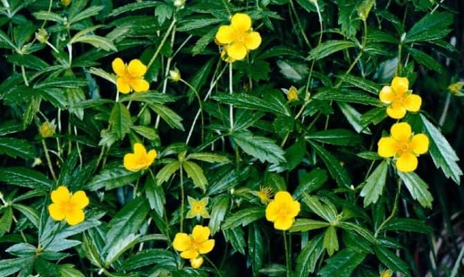 Растение «дикий имбирь»