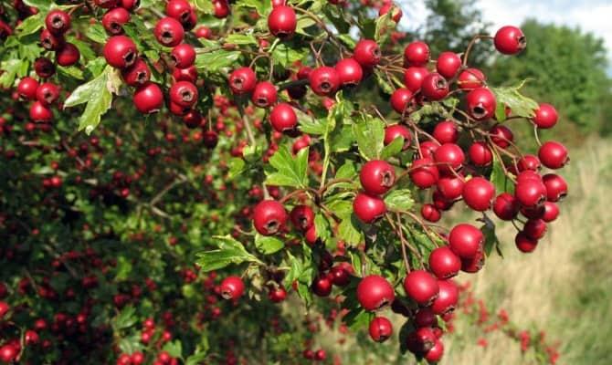 Целебные плоды растения