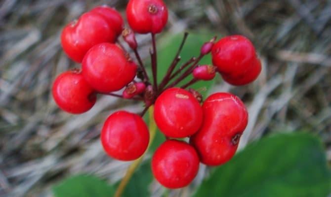 Женьшень - растение для лечения