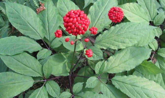 Растение женьшень