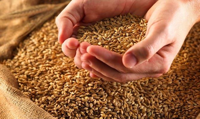 Подготовка зерна для домашней пшеничной водки
