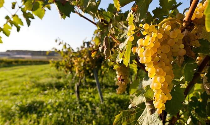 Вино шардоне: особенности и достоинства