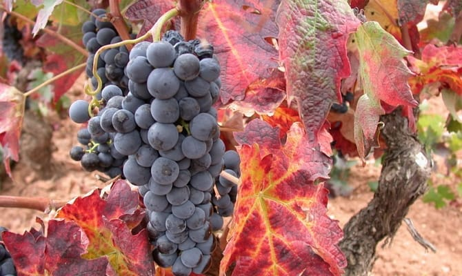 Сорта винограда для лучших испанских вин