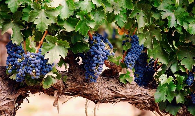 История возникновения и полезные свойства винограда