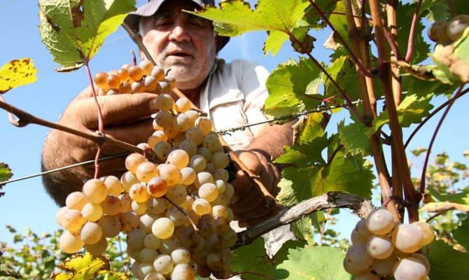 История вина «Саперави»