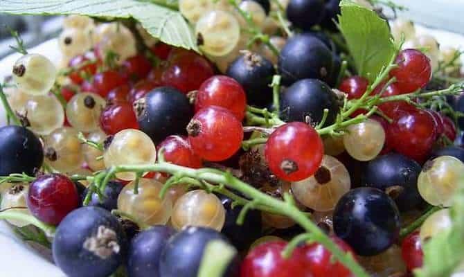Рецепты черносмородинового вина