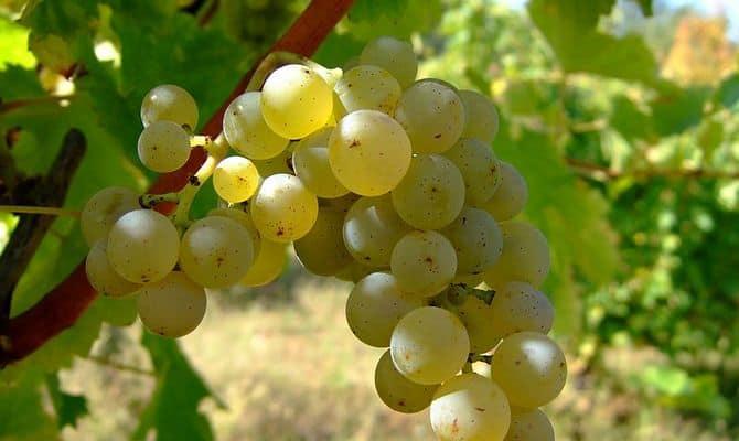 Сорта винограда – где применяются белые ягоды