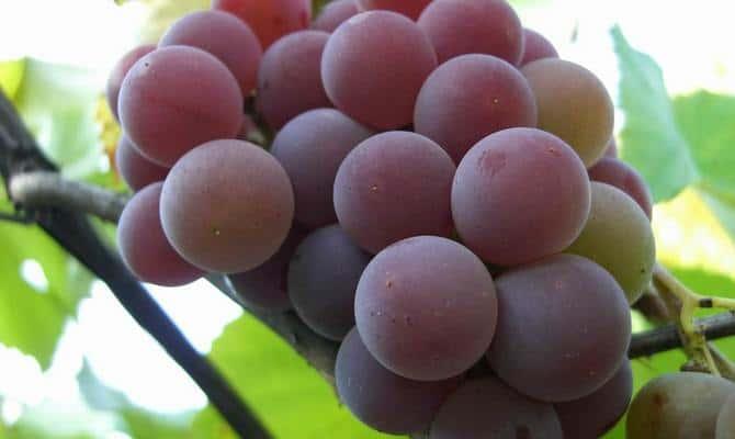 Розовый виноград – для восхитительных десертных вин