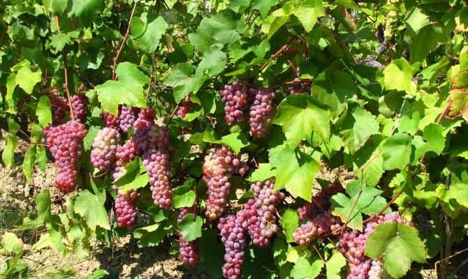 Розовый виноград – для восхитительных десертных вин фото