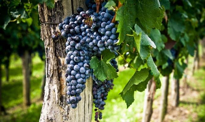 Неприхотливые красные сорта – для изумительных сухих и крепленых вин